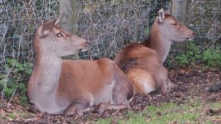 Deer at Deer Farm, Forest Road, Guernsey