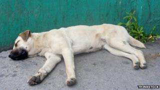 A street dog asleep in Costa Rica
