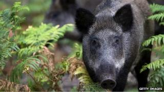 Generic image of a wild boar