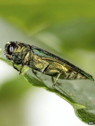 Adult emerald ash borer (Image: SPL)
