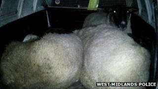 sheep in police van