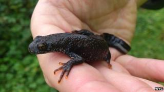 Great crested newt at Portishead