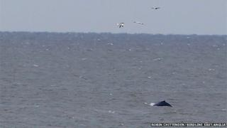 Humpback whale at Winterton, Norfolk