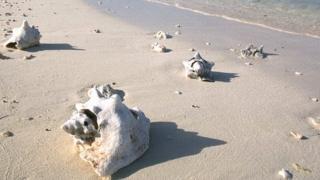 Conch shells on a Bahamas beach