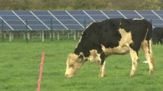A cow grazing with the solar panels in the background