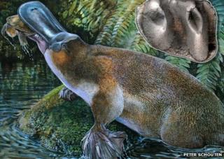 Giant platypus