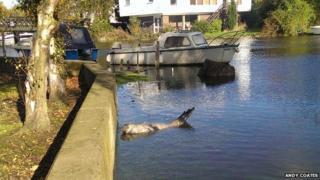Seal at Beccles quay