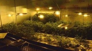 Cannabis plants, Maghera