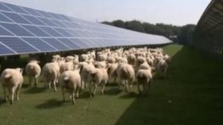 Sheep at solar farm