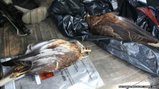 Marsh harriers found in Cambridgeshire