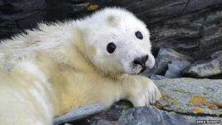 Seal pup on Calf of Man by Anna Bunney
