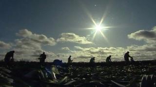 Migrant workers picking leeks