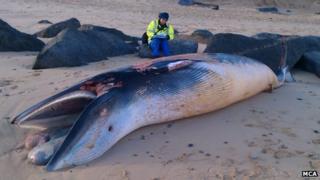 Minke whale, Sea Palling beach, Norfolk