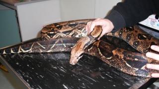 Hank the boa constrictor snake