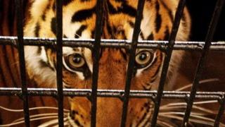 An endangered Sumatran tiger peers out of a transport cage.