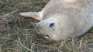 Seal pup at Donna Nook Nature Reserve