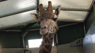 A giraffe in her crate
