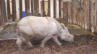 Sunanda the rhino