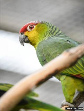 Ecuador Amazon parrot (Image: Chester Zoo)