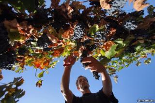 Israeli vineyard