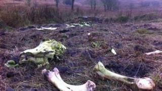 The skeletal remains of one of the horses found on the remote hillside between County Tyrone and County Monaghan