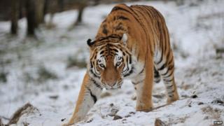 Amur tiger, Marty