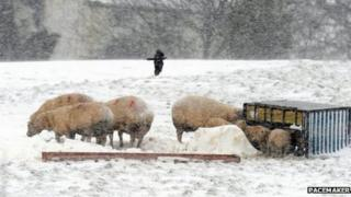 Sheep and lambs feed at trough
