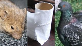 Mouse, toilet roll and pigeon