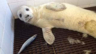 Rescued grey seal pup in the seal hospital