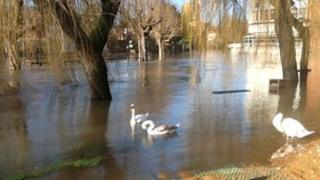 Swans on the flooded River Wey on Thursday