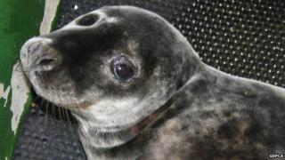 Eden the seal pup