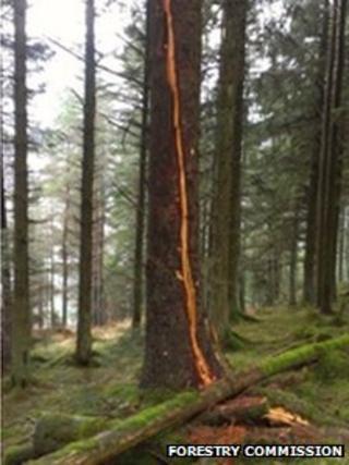 Tree at Whinlatter