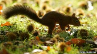 Brownsea Island, red squirrel