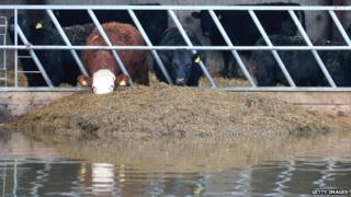 Cows eating in a shed surrounded by floodwater in Somerset