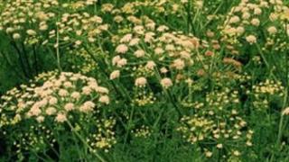 Hemlock water dropwart weed or 'poison parsnips'.