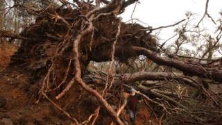 Felled Scots pine at Dundreggan