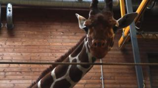 Marius, the 18-month-old giraffe who is to be put down at Copenhagen Zoo