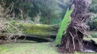 Tree brought down in storms at Stourhead