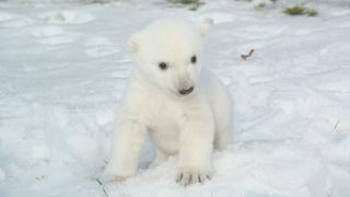 baby polar bear at Toronto zoo