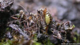 Snow flea