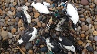 Dead birds on Chesil Beach