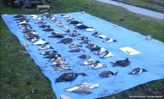 Dead seabirds being counted