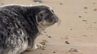 Seal pup released at Winterton-on-Sea, Norfolk