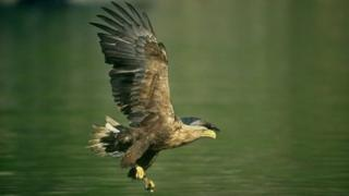 A white-tailed eagle in mid-flight