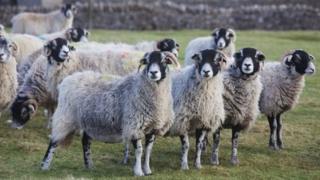 Generic Swaledale sheep
