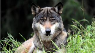 Italian farmers complain that wolves hunt their livestock