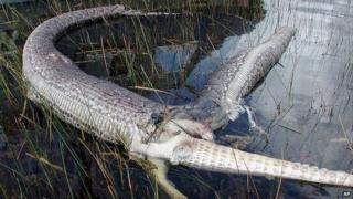Snake burst open after eating alligator