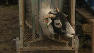 Sheep being scanned