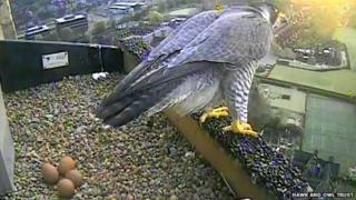 Peregrine falcon with her four eggs