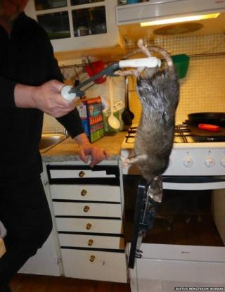 Rat caught in the home of the Korsas family in Stockholm, Sweden